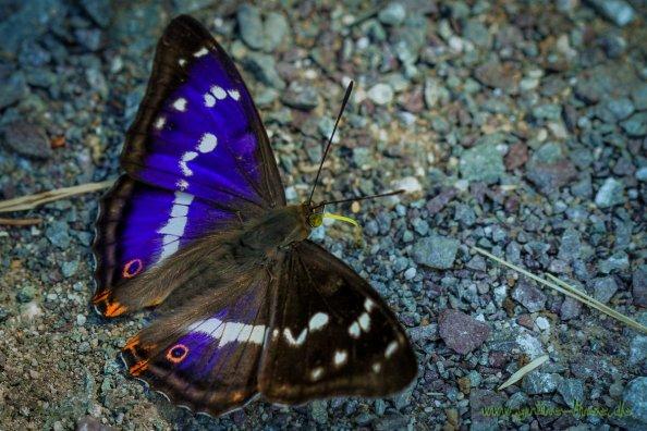 Grosser Schillerfalter (Schmetterling)