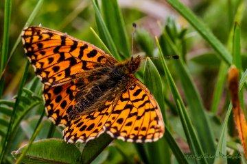 Magerrasen-Perlmuttfalter (Schmetterling)