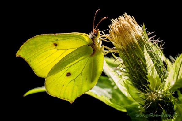 Zitronenfalter (Schmetterling)