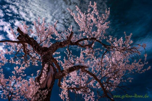 Baum - Infrarot