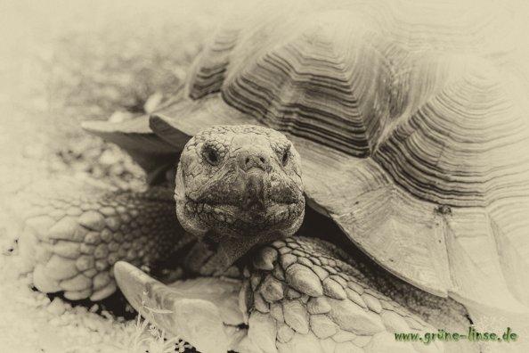 Sporenschildkröte Friedrich (Zoo Hof)