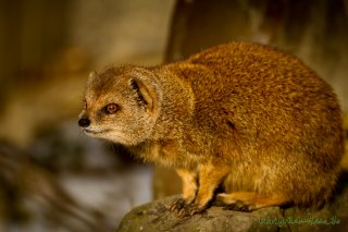 Fuchsmanguste (Zoo Hof)