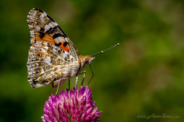 Distelfalter (Schmetterling)