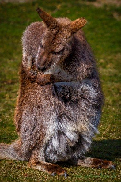 Benett-Känguru (Zoo Hof)