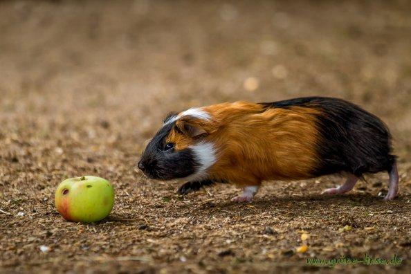 Meerschweinchen (Zoo Hof)