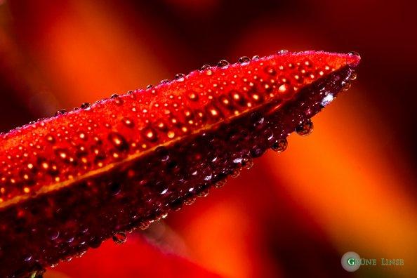 tautropfen-herbstblatt-rot-1