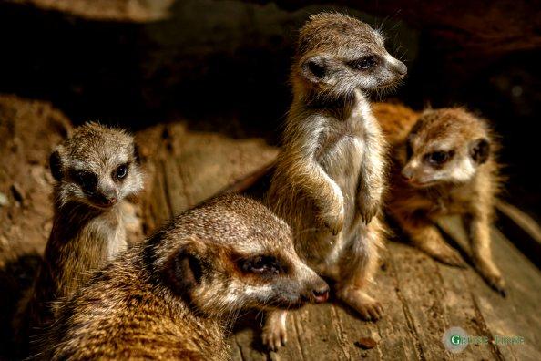 Erdmännchen (Zoo Hof)