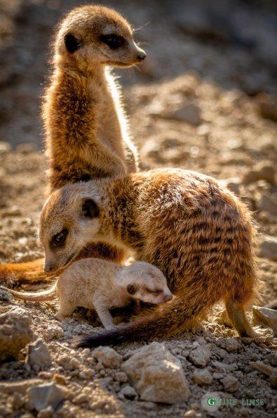 Erdmännchen Baby (Zoo Hof)