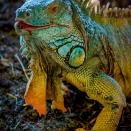 Grüner Leguan (Zoo Hof)