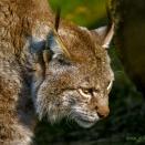 Luchs (Zoo Hof)
