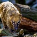 Nasenbär (Zoo Hof)