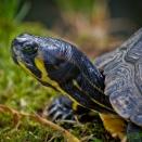 Schildkröte (Zoo Hof)